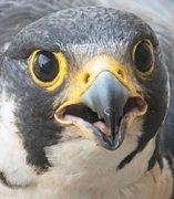 Photo of Falcon